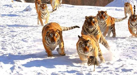 Hổ Siberia săn mồi