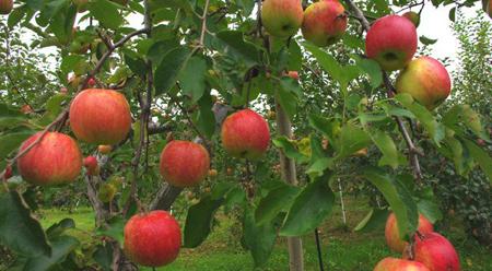 Bài văn mẫu tiếng Trung (8) Cây táo kì diệu