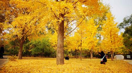 Thu vàng ở Bách thảo  Bắc Kinh Trung Quốc