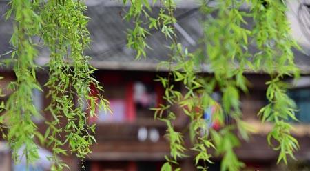 Liễu xanh – sức sống mùa xuân