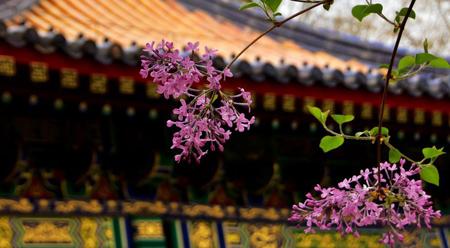 Hoa nở trong Cố Cung – Tử Cấm Thành