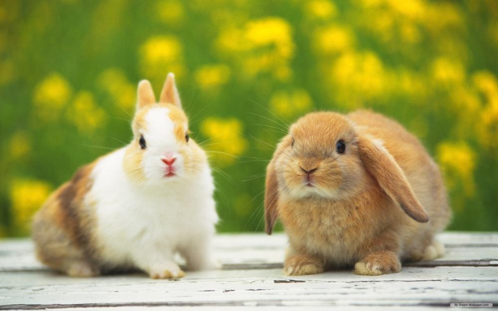 Bài văn mẫu tiếng Trung (27) Chú thỏ con